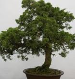 Bonsai Chin. Wacholder, Juniperus chinensis, nr. 6484