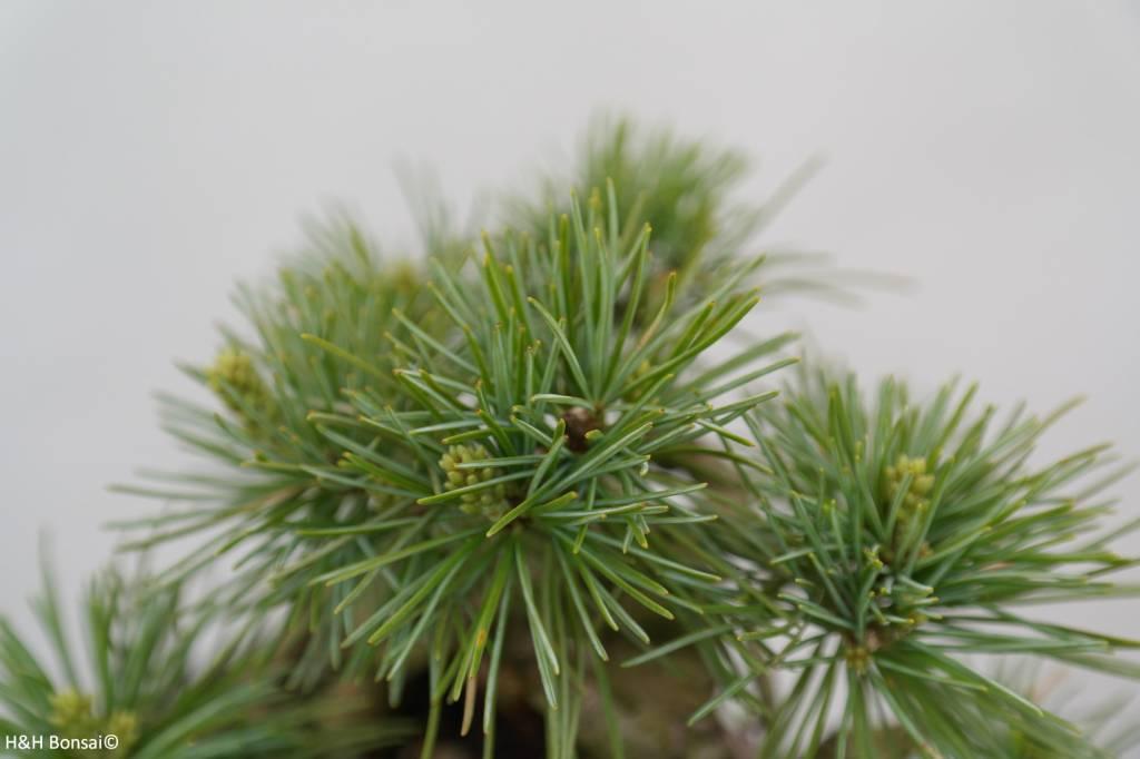 Bonsai Shohin Mädchenkiefer, Pinus parviflora, nr. 6485