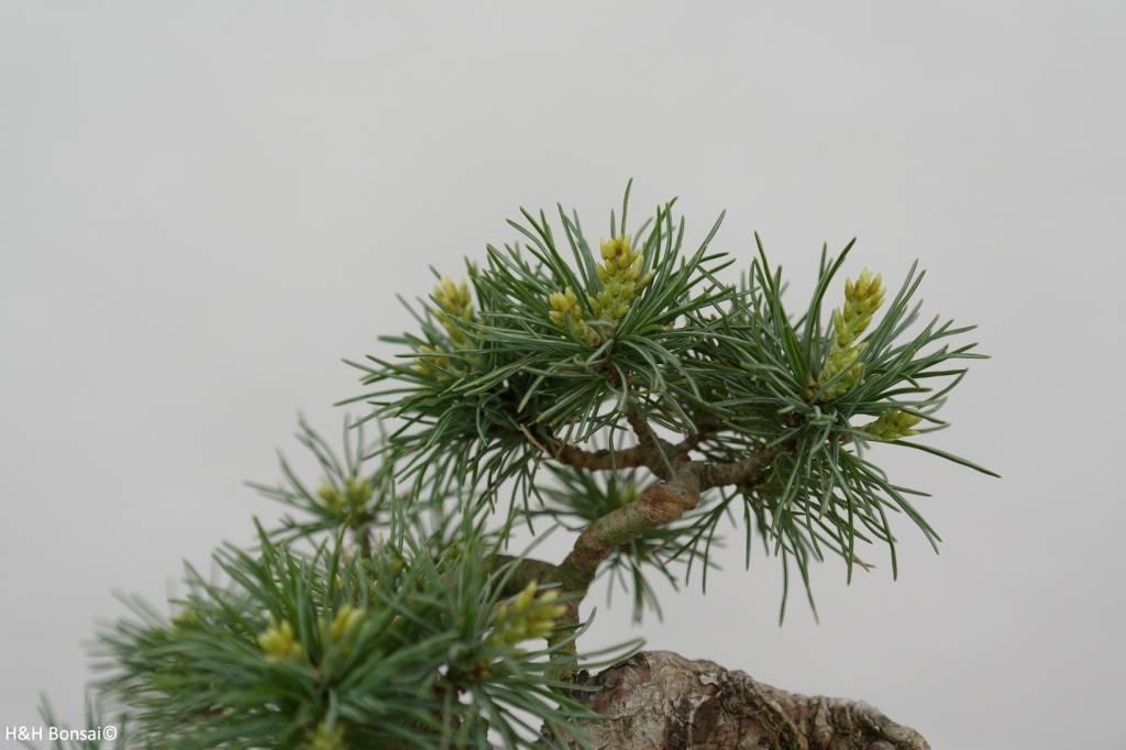Bonsai Shohin Mädchenkiefer, Pinus parviflora, nr. 6486