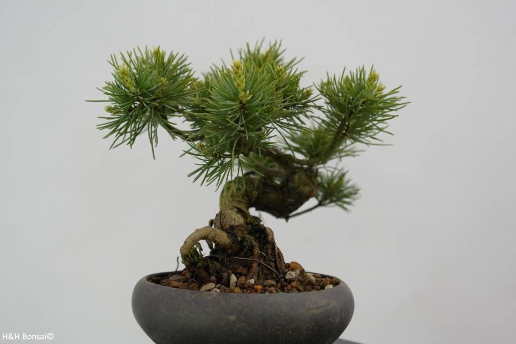 Bonsai Shohin Mädchenkiefer, Pinus parviflora, nr. 6488