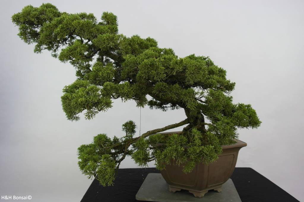 Bonsai Chin. Wacholder, Juniperus chinensis, nr. 6489