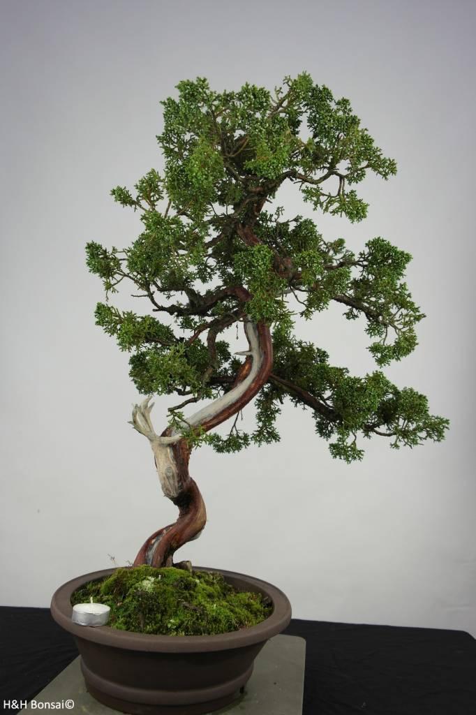 bonsai chin wacholder juniperus chinensis nr 6493. Black Bedroom Furniture Sets. Home Design Ideas