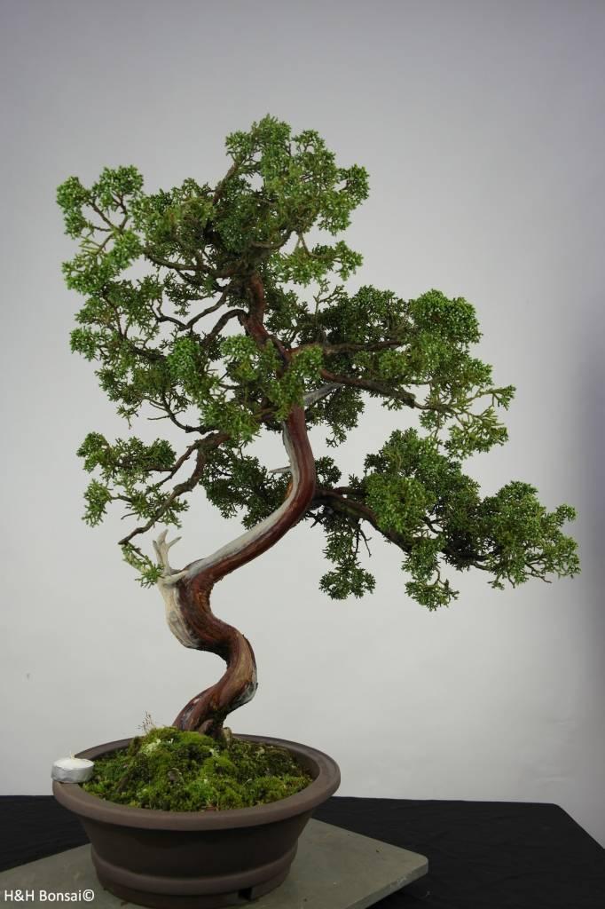 Bonsai Chinese Juniper, Juniperus chinensis, no. 6493