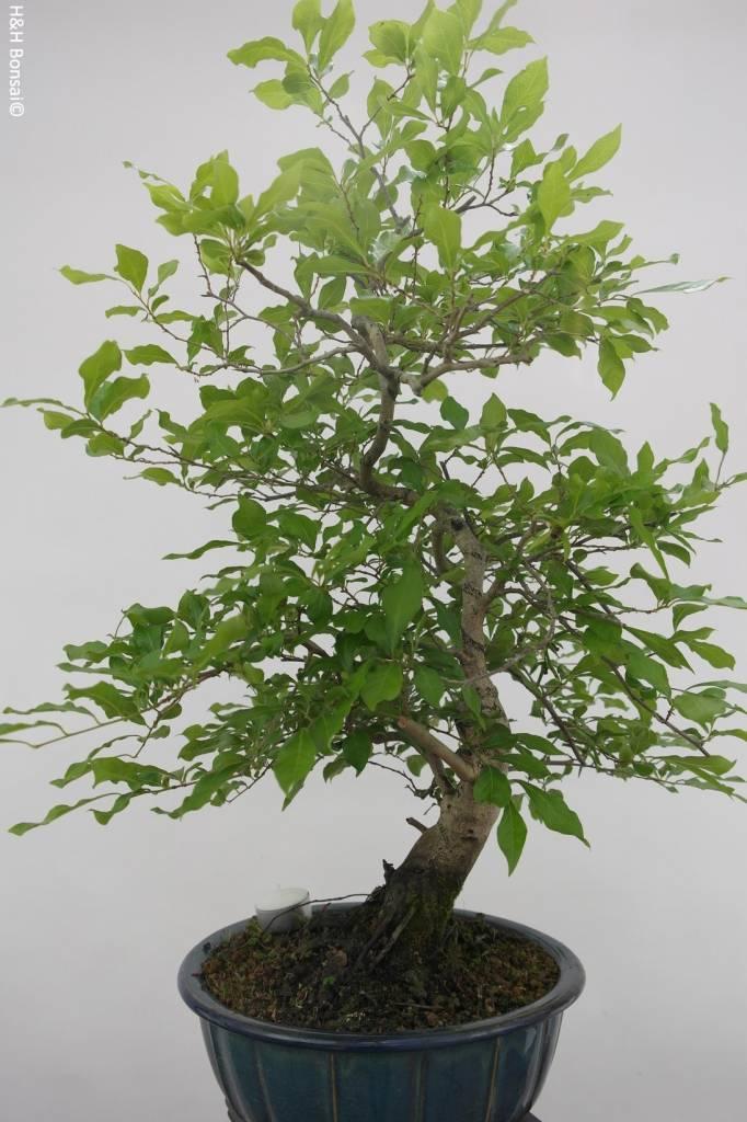 Bonsai Diospyros kaki, Lotus kaki, nr. 5575