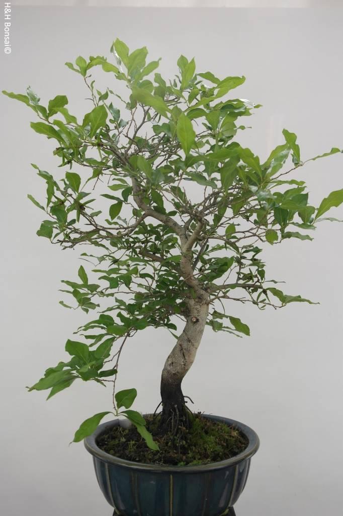 bonsai diospyros kaki lotus kaki nr 5817 www. Black Bedroom Furniture Sets. Home Design Ideas