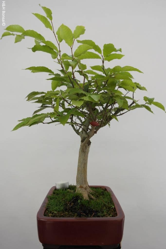 bonsai kerbbuche fagus crenata nr 6445. Black Bedroom Furniture Sets. Home Design Ideas
