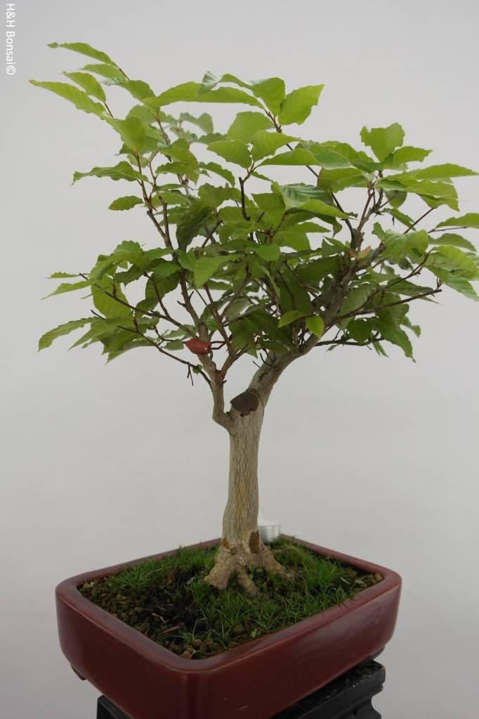Bonsai Kerbbuche, Fagus crenata, nr. 6445