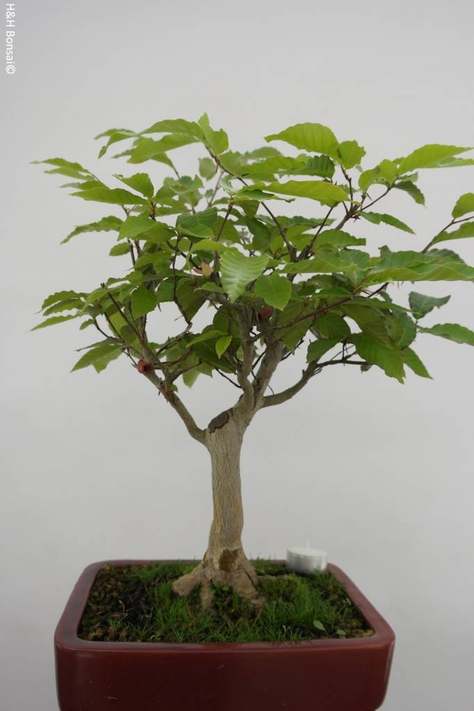 Bonsai Japanese beech, Fagus crenata, no. 6445