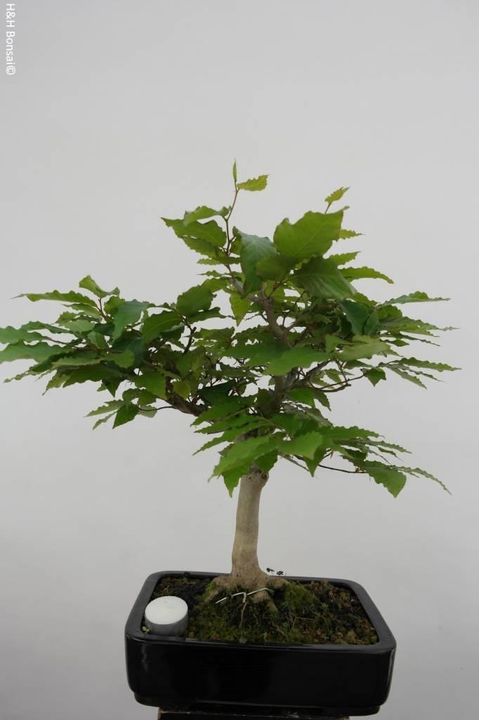 bonsai kerbbuche fagus crenata nr 6443. Black Bedroom Furniture Sets. Home Design Ideas