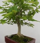 Bonsai Kerbbuche, Fagus crenata, nr. 6442