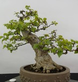 Bonsai Koreanische Hainbuche, Carpinus coreana, nr. 5891