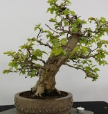 Bonsai Korean Hornbeam, Carpinus coreana, no. 5891