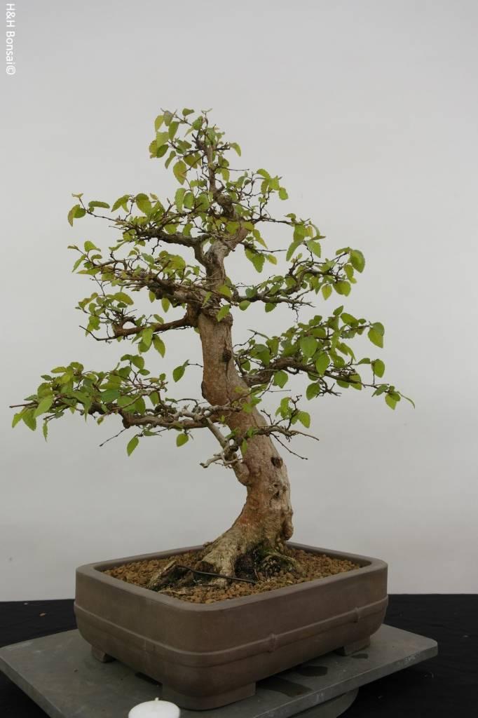 Bonsai Korean Hornbeam, Carpinus coreana, no. 5883