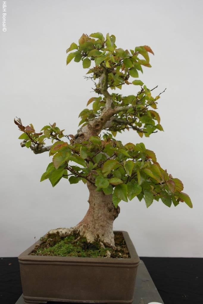Bonsai Koreanische Hainbuche, Carpinus coreana, nr. 5884