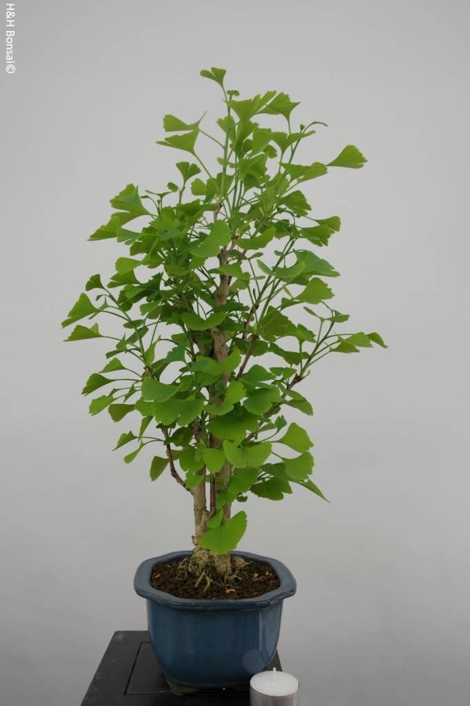 Bonsai Fächerblattbaum, Ginkgo biloba, nr. 6418