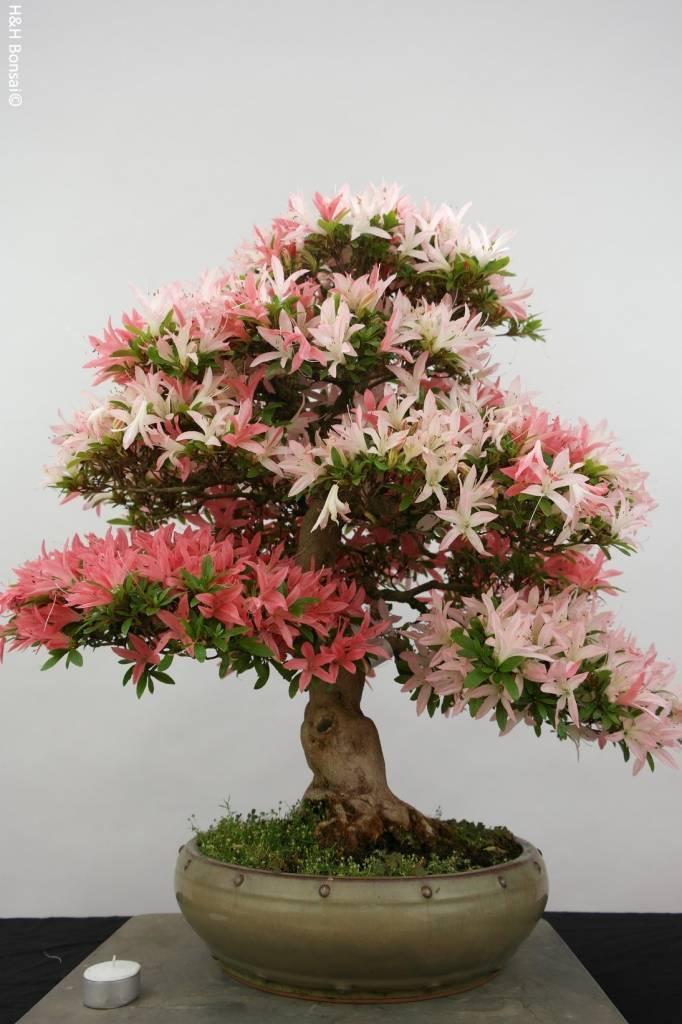 Bonsai Azalee Satsuki, Azalea Satsuki, nr. 5872