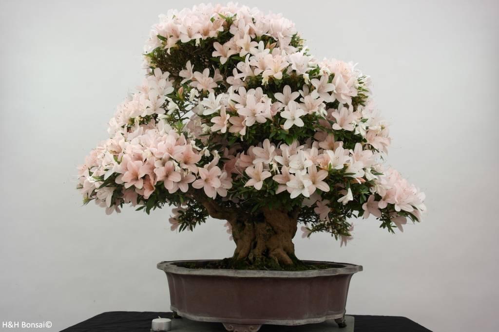 bonsai azalee satsuki azalea satsuki kozan nr 5700. Black Bedroom Furniture Sets. Home Design Ideas
