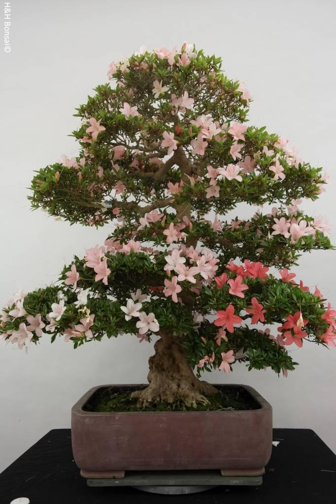 bonsai azalee satsuki azalea satsuki nikko nr 5708. Black Bedroom Furniture Sets. Home Design Ideas