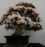Bonsai Azalee Satsuki, Azalea Satsuki, nr. 5877