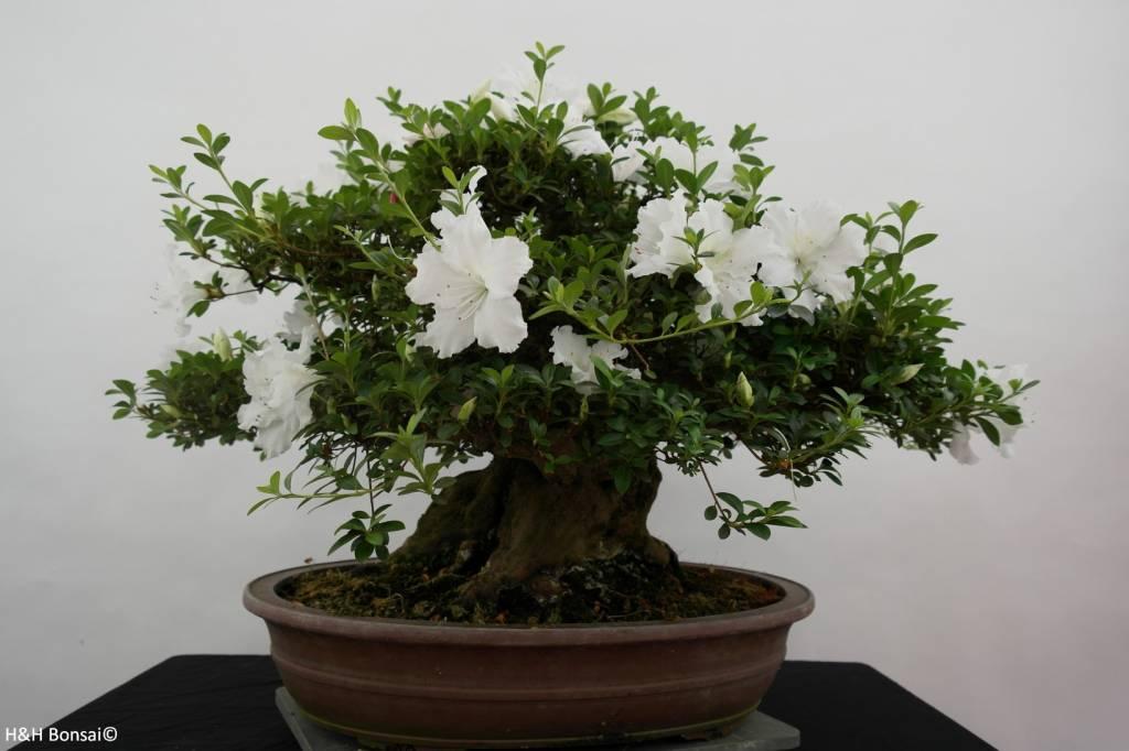 Bonsai Azalee Satsuki, Azalea Satsuki Eikan, nr. 5879
