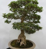 Bonsai Azalea Satsuki, no. 5192