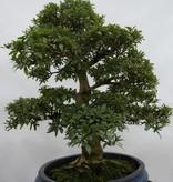 Bonsai Azalea Satsuki, no. 5867