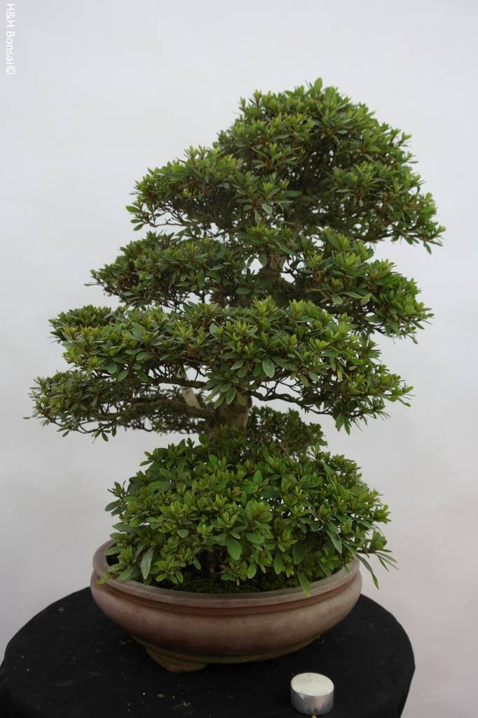 Bonsai Azalea Satsuki Akane, no. 5187