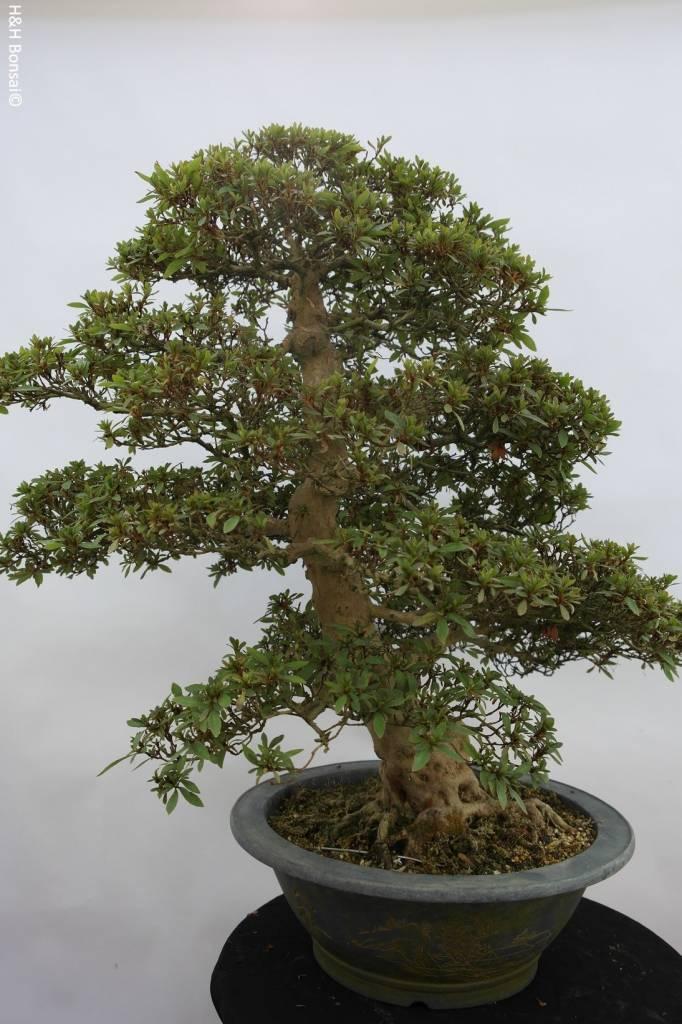 bonsai azalee satsuki azalea satsuki nyohozan nr 5203. Black Bedroom Furniture Sets. Home Design Ideas