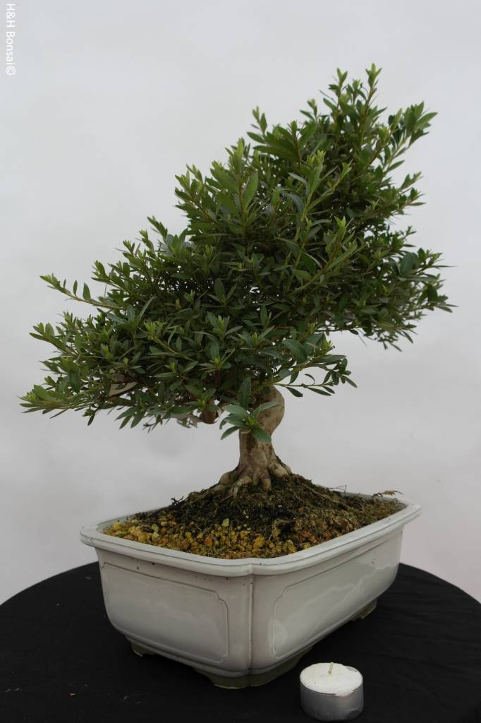 bonsai azalee satsuki azalea satsuki togenkyo nr 5941. Black Bedroom Furniture Sets. Home Design Ideas