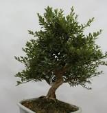 Bonsai Azalea Satsuki Togenkyo, no. 5941