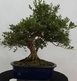 Bonsai Azalea Satsuki Togenkyo, no. 5940
