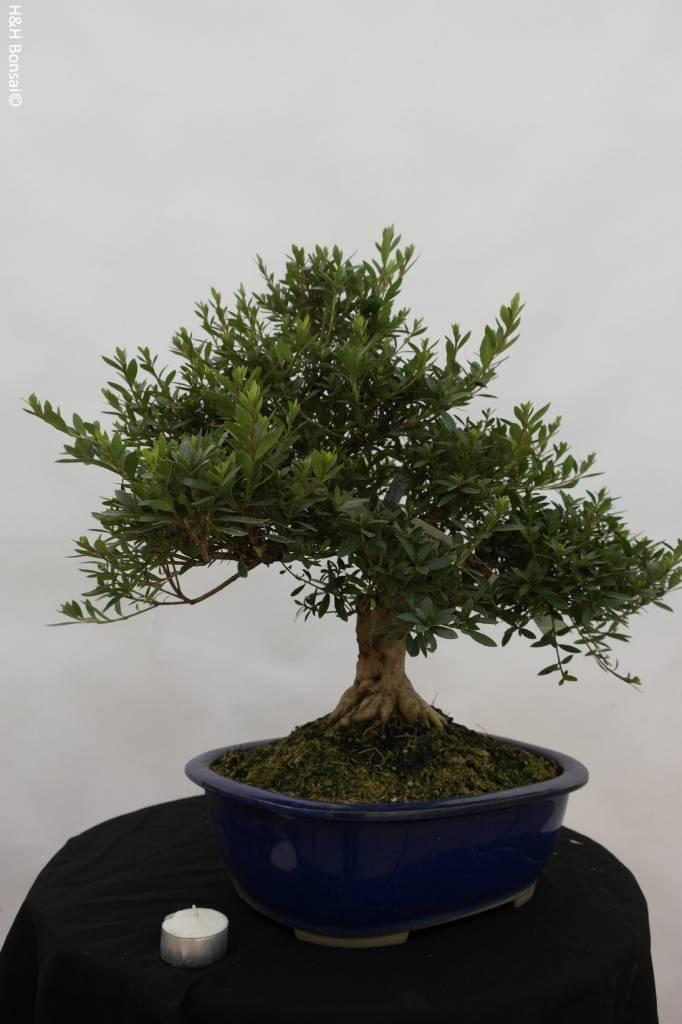 bonsai azalee satsuki azalea satsuki togenkyo nr 5940. Black Bedroom Furniture Sets. Home Design Ideas