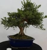 Bonsai Azalee Satsuki, Azalea Satsuki Togenkyo, nr. 5940