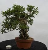 Bonsai Azalee Satsuki, Azalea Satsuki Koun, nr. 6471