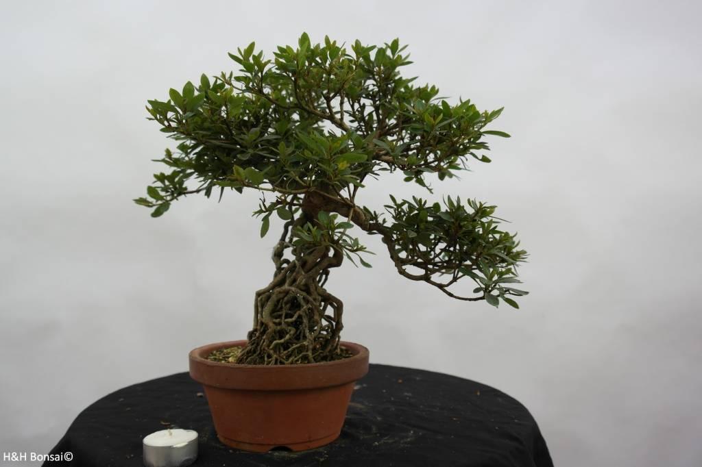 Bonsai Azalea Satsuki Koun, no. 6471