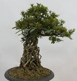 Bonsai Azalea Satsuki Seiko, no. 6429