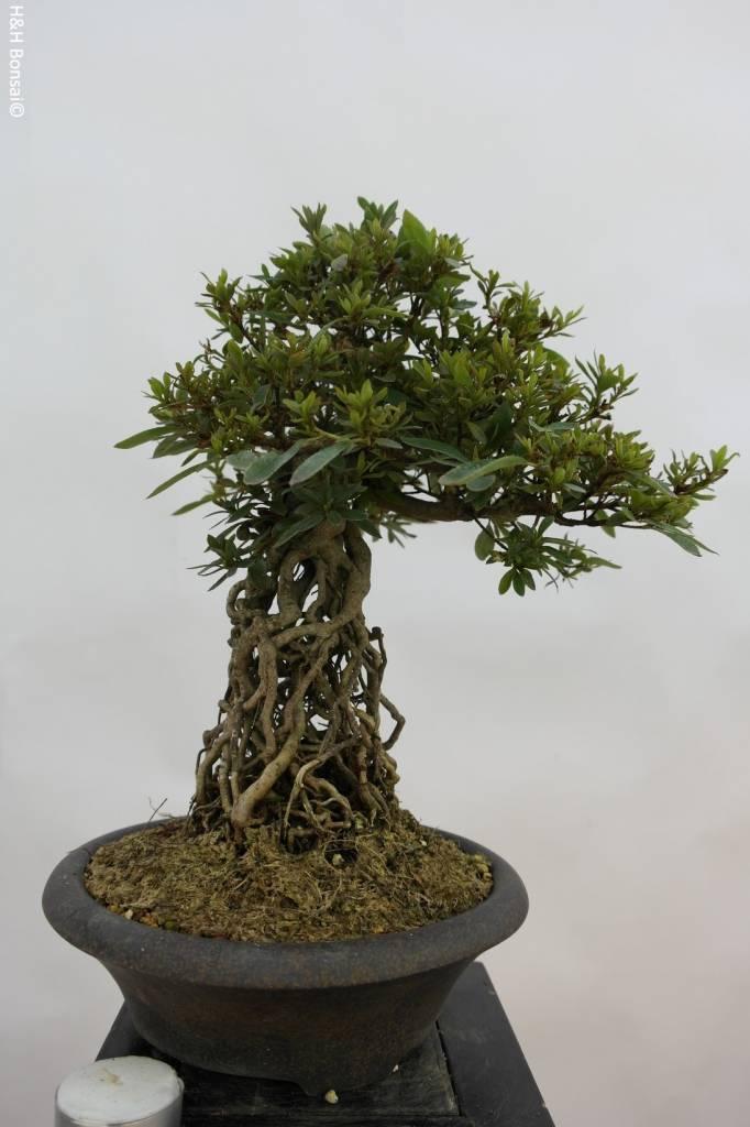 bonsai azalee satsuki azalea satsuki seiko nr 6429. Black Bedroom Furniture Sets. Home Design Ideas