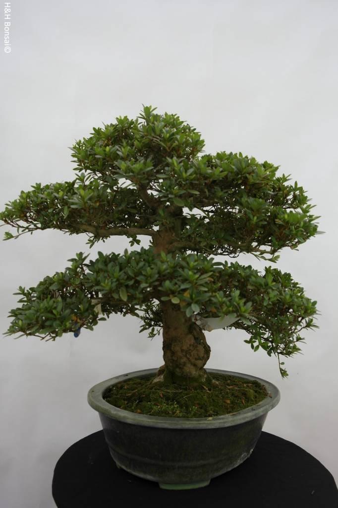 Bonsai Azalee Satsuki, Azalea SatsukiJuko no Homare, nr. 5706