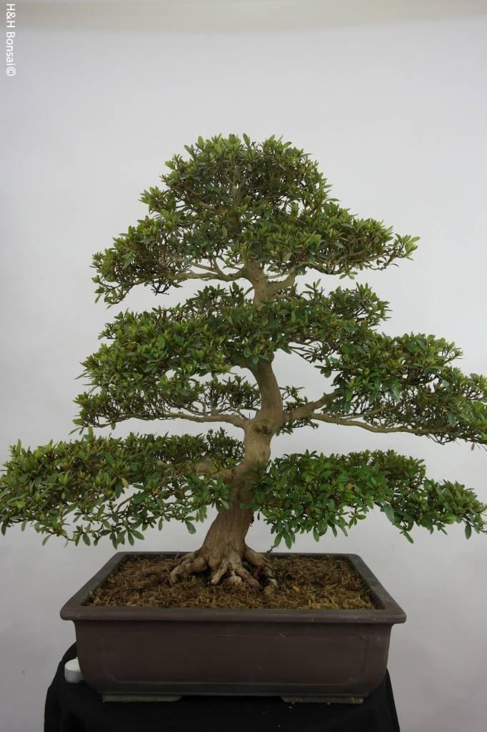 bonsai azalee satsuki azalea satsuki seiko nr 5680. Black Bedroom Furniture Sets. Home Design Ideas