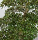 Bonsai Azalee Satsuki, Azalea Satsuki Seiko, nr. 5680