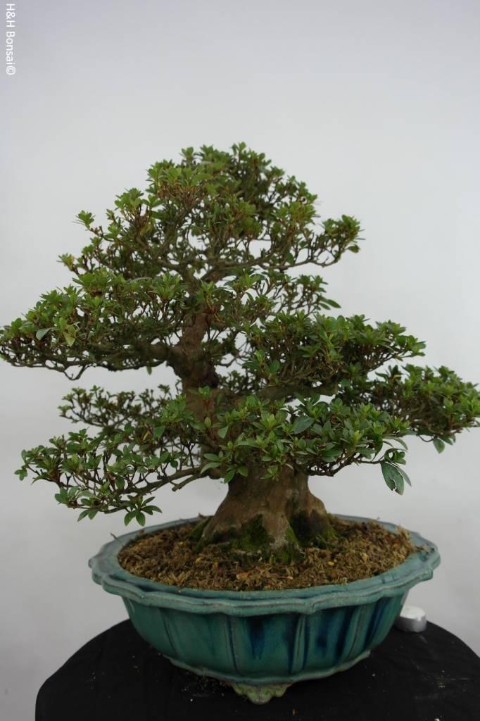 bonsai azalee satsuki azalea satsuki nr 5251 www. Black Bedroom Furniture Sets. Home Design Ideas