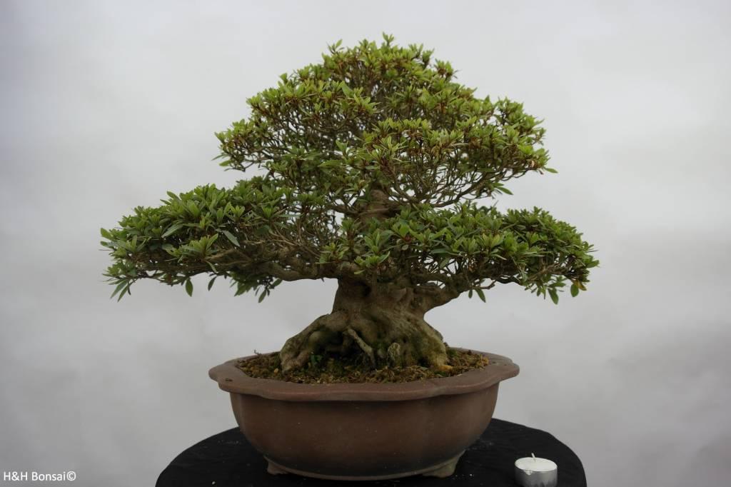 bonsai azalee satsuki azalea satsuki nikko nr 5186. Black Bedroom Furniture Sets. Home Design Ideas