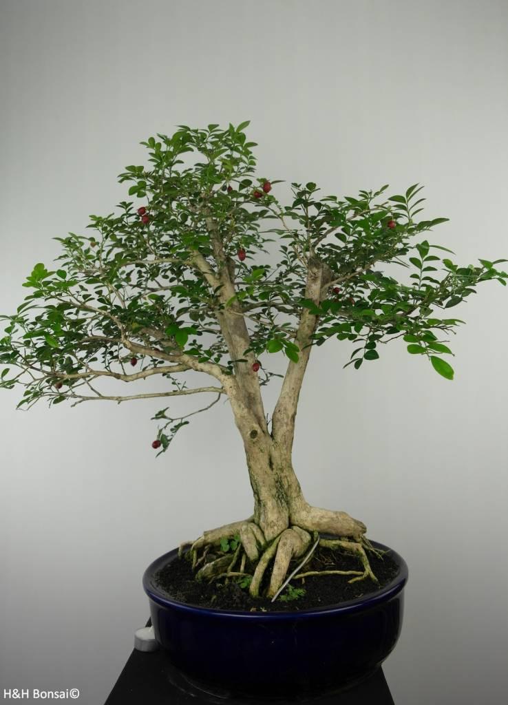 Bonsai Orangenjasmin, Murraya sp., nr. 6519