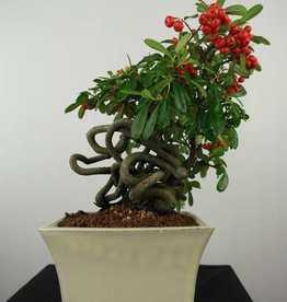 Bonsai Firethorn,Pyracantha, no. 6524