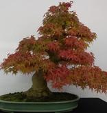 Bonsai Jap. Fächerahorn, Acer palmatum, no. 5508