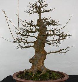 Bonsai Trident maple, Acer buergerianum, no. 5184
