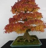 Bonsai Jap. Fächerahorn, Acer palmatum, no. 5499