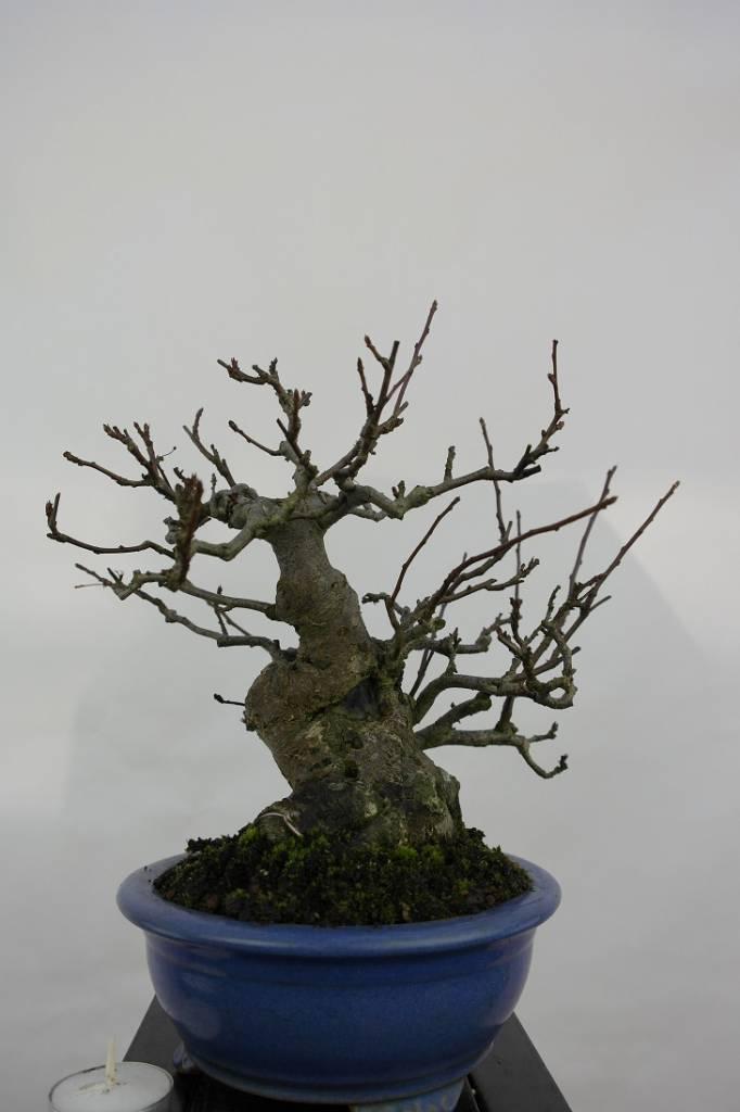 Bonsai Zierapfel, Malus sieboldii nr. 5105