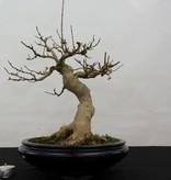 Bonsai Dreispitzahorn, Acer buergerianum, nr. 5513