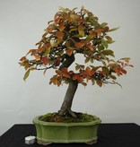Bonsai Quitte, Cydonia oblonga, nr. 4485